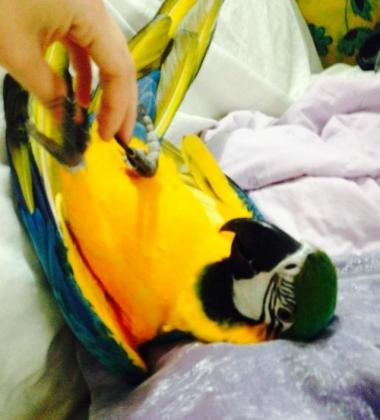 9 month old Blue and Gold Macaws