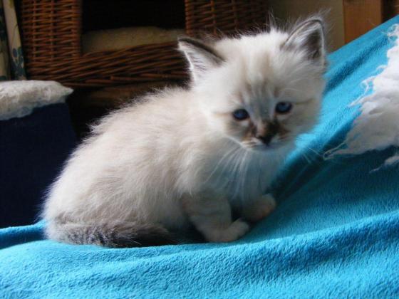 Adorable Balinese Kittens