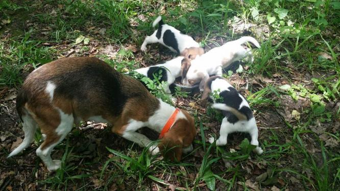 Adorable Beagle Male and female Puppies For sale