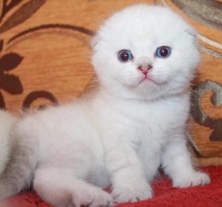Adorable Scottish fold kittens for sale