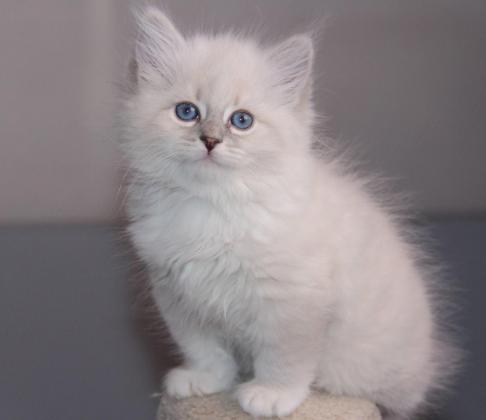 Beautiful And Excellent Ragdoll Kittens