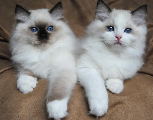 Beautiful Female & Male Ragdoll kitten  0634251786