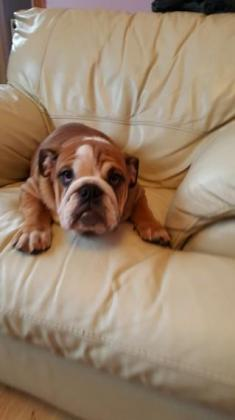 Beautiful litter male and female English bulldog puppies ready for their forever homes