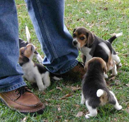Beautiful Litter Of Beagle Puppies Available for Sale