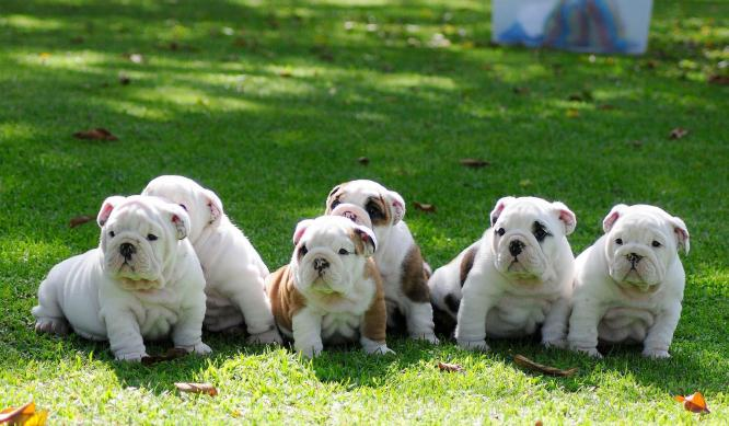 Confindent English Bulldog Puppies