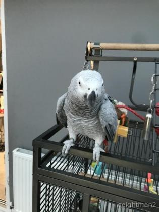 Congo African Grey Available