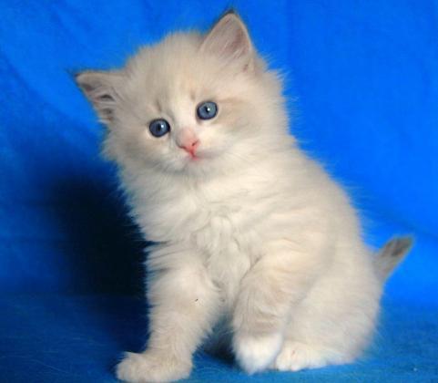Cute little Ragdoll kittens