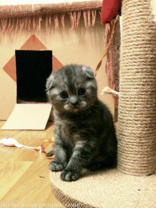 Exclusive Luxury Kittens Scottish Fold Kittens