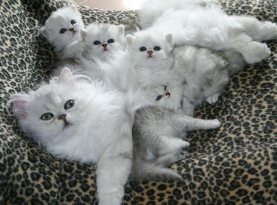 Gorgeous Persian Kittens
