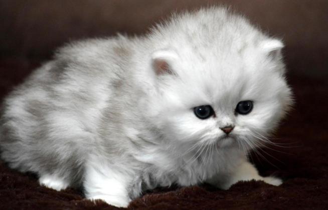 gorgeous white Persians