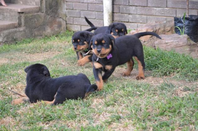 KUSA Registered Rottweiler Puppies