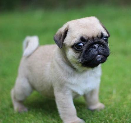 Pug Pups 3 Girls 1 boy