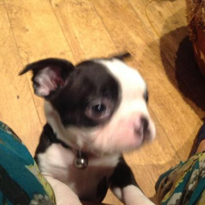 Ready Now Boston Terrier Puppies