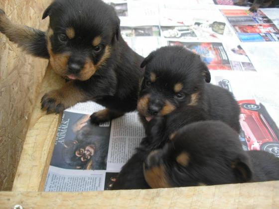 Rottweiler Male and Female  Puppies for sale