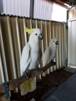 Sulphur Crested Cockatoo for sale