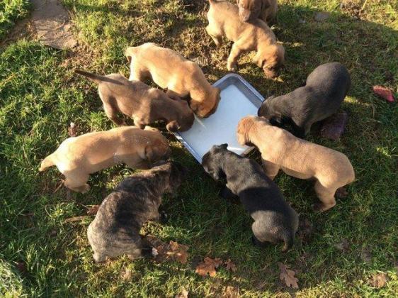Superb Kusa  Reg Bullmastiff Puppies Available
