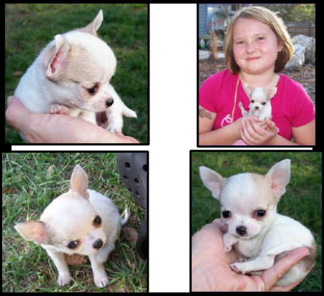 Beautiful teacup Chihuahua pups
