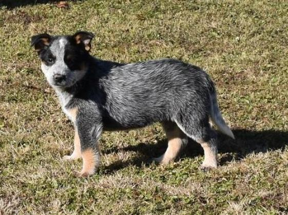 Working Australian Cattle Dog Puppies