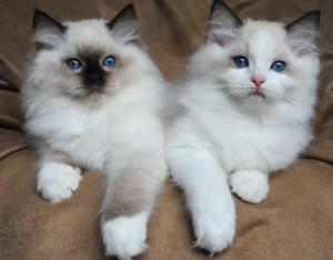 Adorable pedigree ragdoll kittens 0634251786