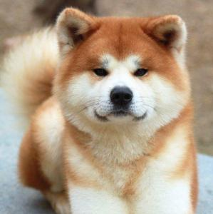 Akita Inu puppies for adoption