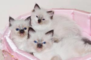Affectionate  3 Beautiful Ragdoll kittens For Sale