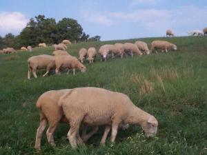 Goat, Lambs, Sheep, Ewes Braman Heifers Bulls a...