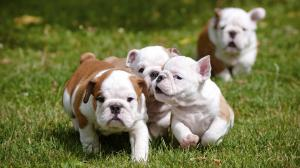 Shalom English Bulldog Puppies