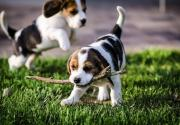 Adorable Cute Miniature Beagle Puppies Available  For Sale