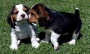 Beautiful Beagle Puppies male and female For Sale