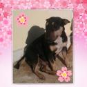 Bull terrier pups - BFN