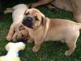 Bullmastiff Puppies Available For Sale