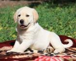 Certified Pedigree Labrador Puppies
