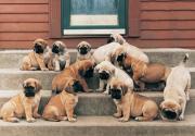 Chunky Bullmastiff Puppies For Sale