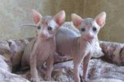 Gorgeous Sphynix Kittens For Sale 0634251786