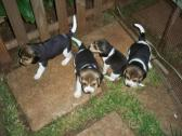 Male and Female beagle Puppies Available and Ready for Sale
