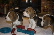 Nice and healthy Beautiful Beagle Puppies for sale