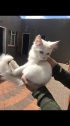 Persian doll face kitten for sale