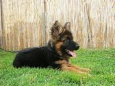 playful and sociable German Shepherd puppies