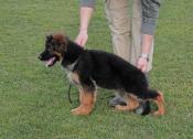 Quality German Shepard puppy