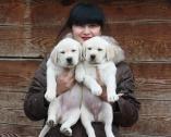Registered Labrador Retriever puppy.