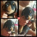 Unregistered Rottweiler pups for sale