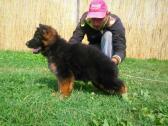 well socialized German Shepherd puppies