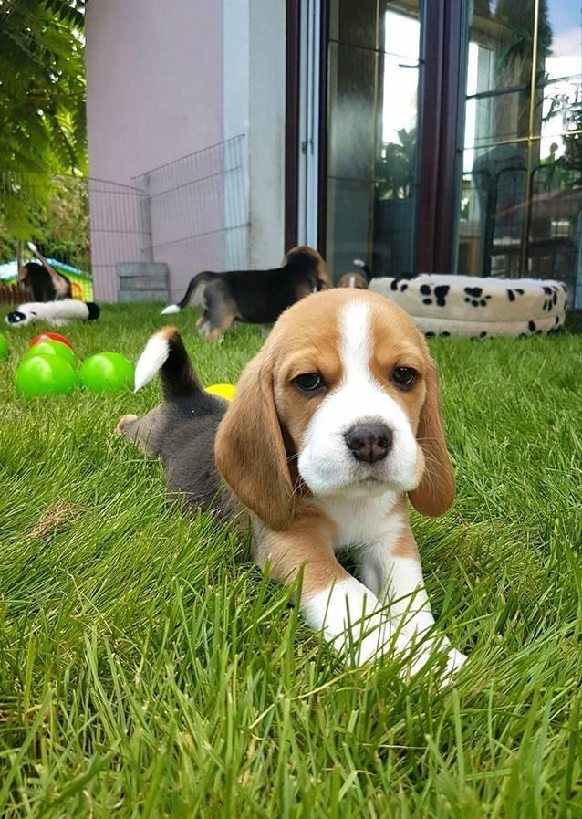Beagle Puppies For Sale Cape Town Beagle Puppies Dog