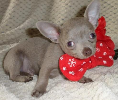 5 Full Pedigree Chihuahua Teacup Size