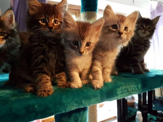 Active Maine Coon Kittens