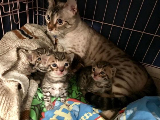 Active Bengal Kittens