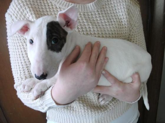 Beautiful English Bull Terrier Puppies