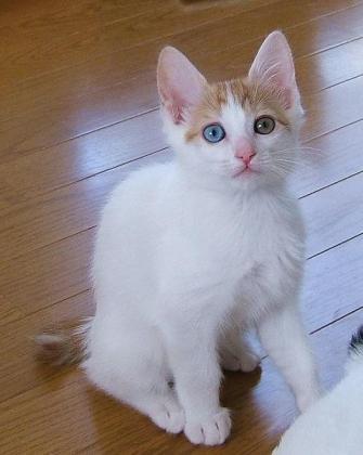 Beautiful Japanese Bobtail kittens