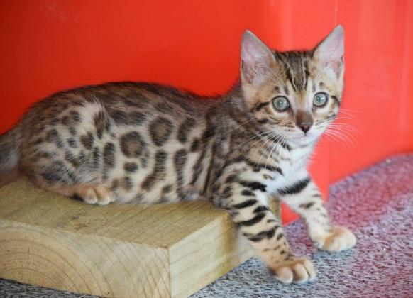 Bengal kittens -1 silver and 3 brown