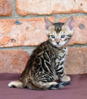 BENGAL KITTENS BROWN SPOTTED CHAMPION BLOOD LINES